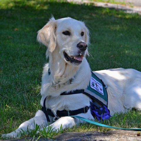 service dog laying on grass wearing a vest